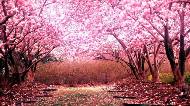 1920x1080_cherry_blossom_landscape-1239432